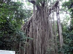 Curtian Fig tree